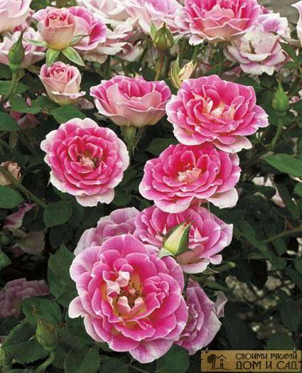 почему не цветет роза флорибунда