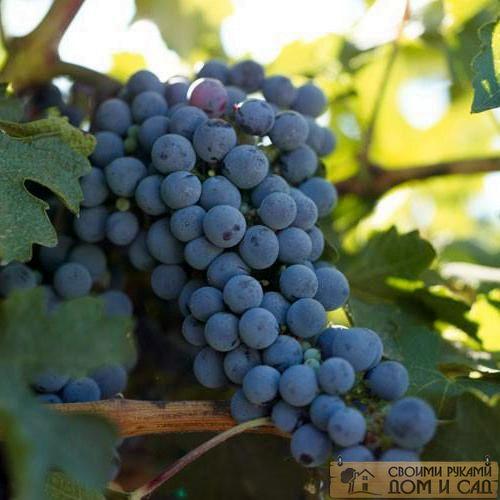 виноград полив летом
