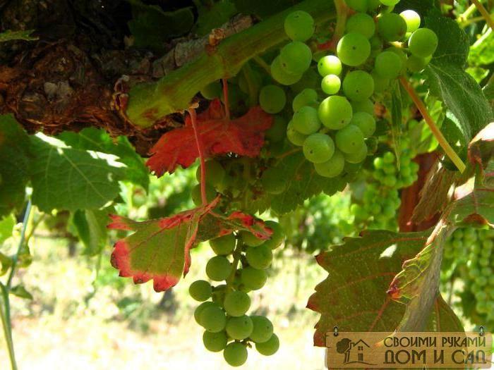 виноград полив и подкормка