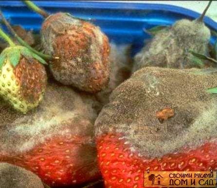 вредители садовой клубники