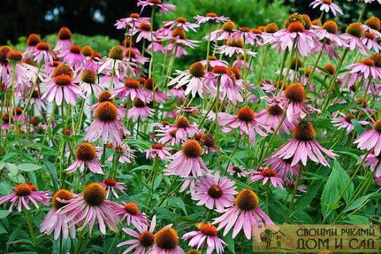 цветы эхинацея посадка и уход
