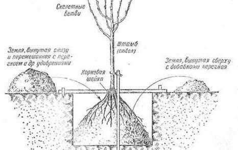 Какие плодовые деревья сажают осенью?