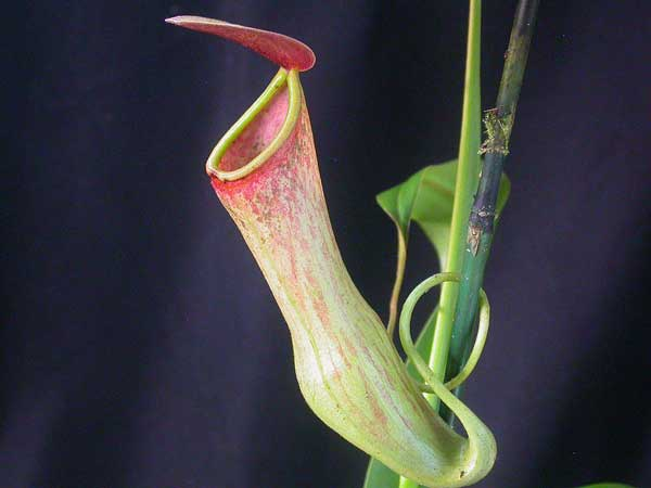 растение мухоловка - непентес