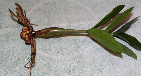 Размножение клубнем