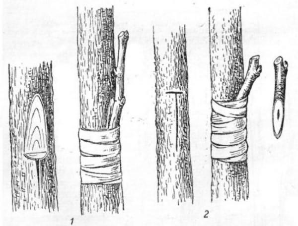 Прививка вишни на кору актуальна при наличии слишком крупного для стандартной копулировки подвоя