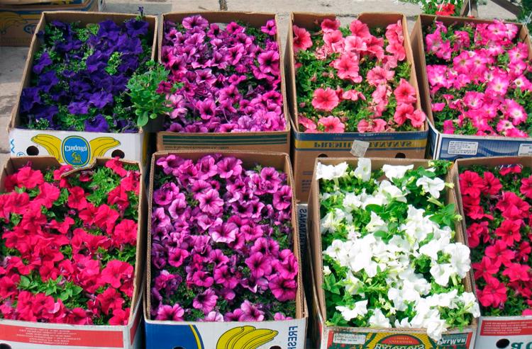 Как вырастить и чем подкормить рассаду петунии