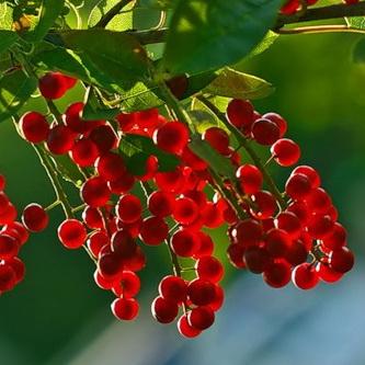Красная черемуха - особенности выращивания
