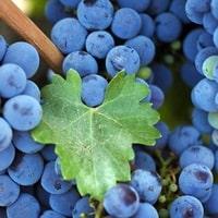Как посадить виноградную лозу