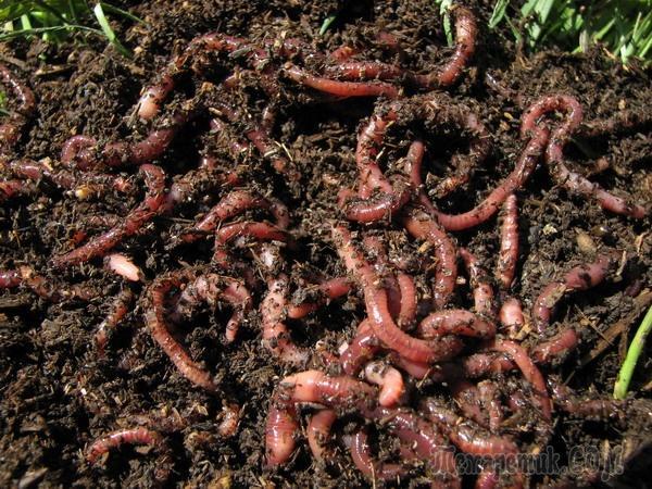 Дождевые черви на даче