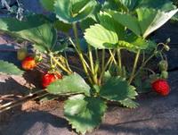 клубника на агроволо…