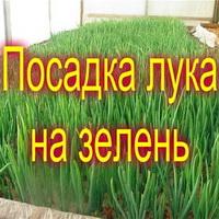 Как сажать лук? Как сажать лук на зелень? Как сажать лук-севок?