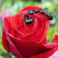 Тля на розах: как избавиться? Народные средства