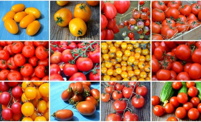 Какая высота куста должна быть у томатов?