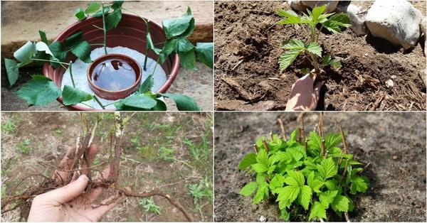 Как пересадить малину весной