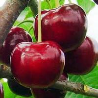 Сорт вишни Чудо-вишня