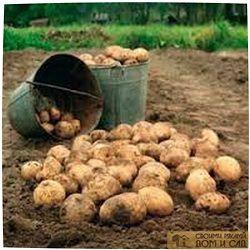 Обработка картофеля …