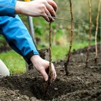 Преимущества осенней посадки малины: