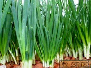 зелень в теплице