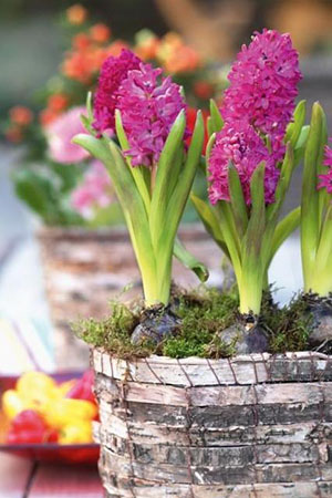 Как хранить луковицы цветов зимой