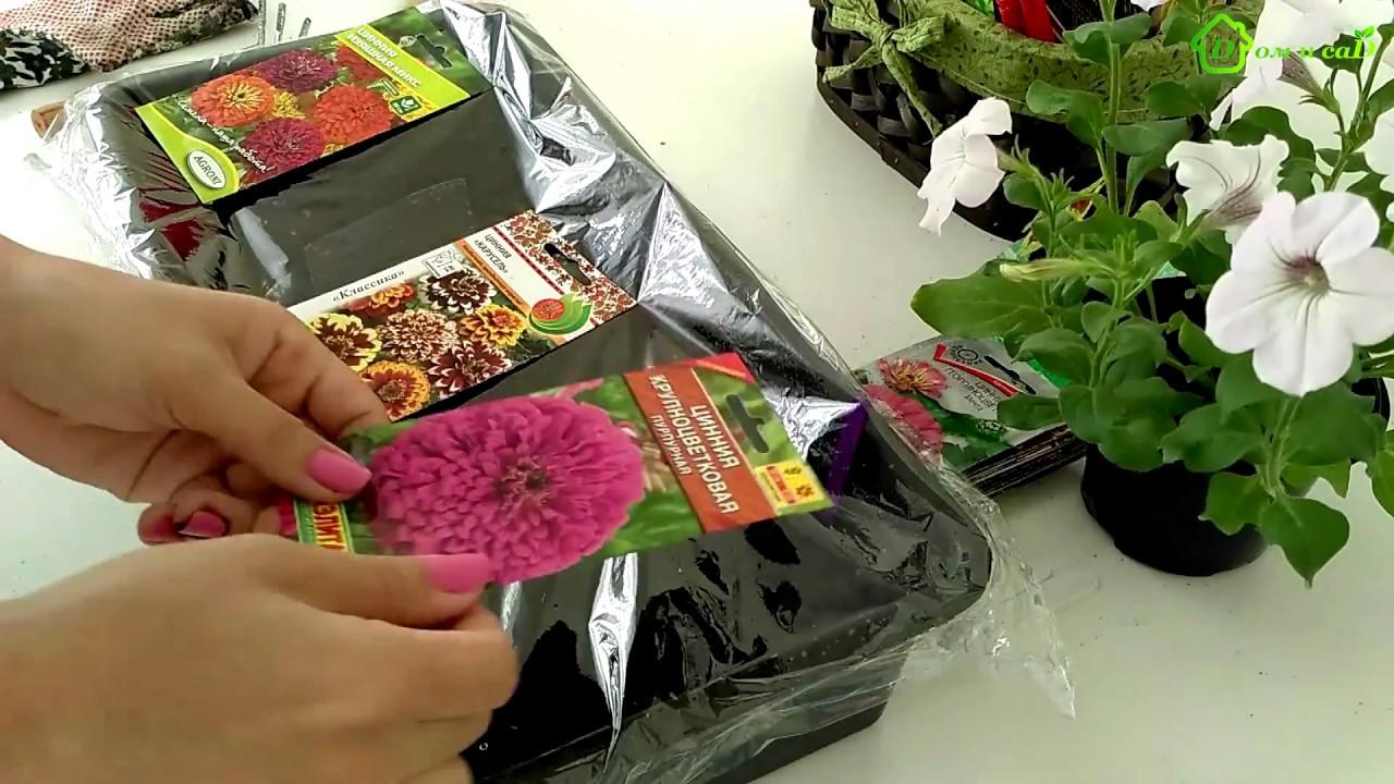 Выращивание рассады цинии