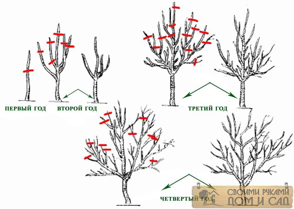 схема обрезки яблонь