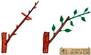 обрезка однолетней яблони