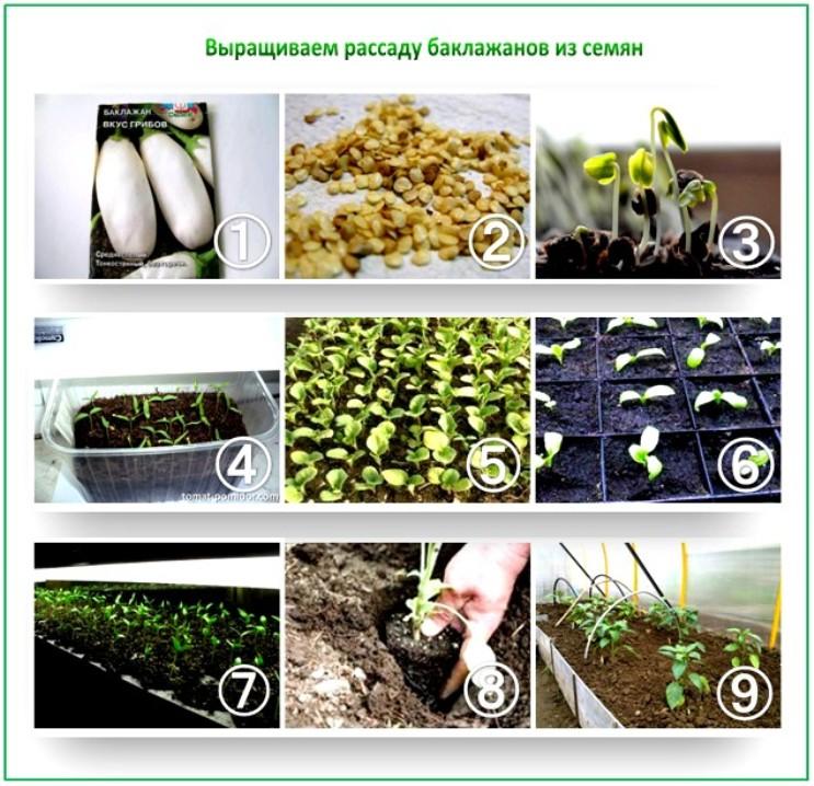 семена баклажанов к посеву