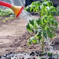 Особенности агротехники рассады томатов