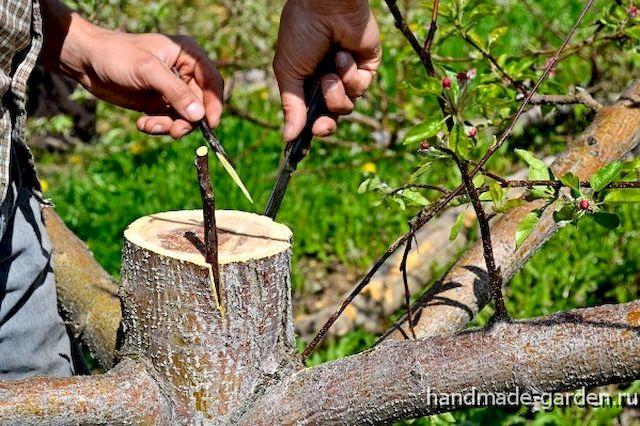 Что такое прививка деревьев