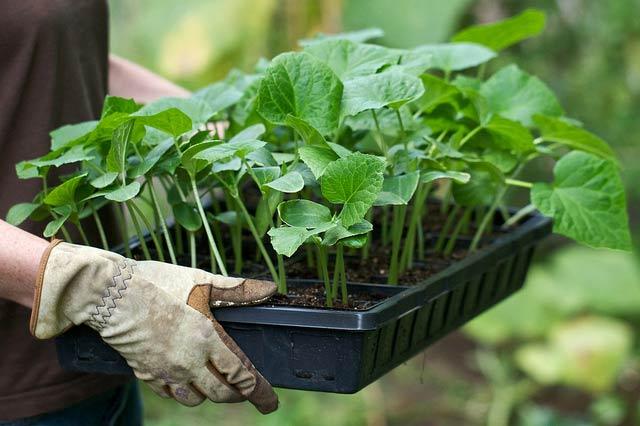 Выращивание рассады огурцов: посев, уход, посадка на грядку