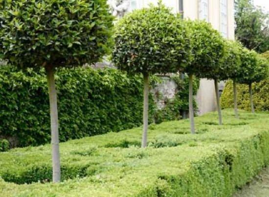 Штамбовые формы деревьев
