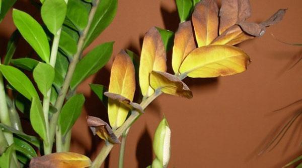 Почему желтеют листь…