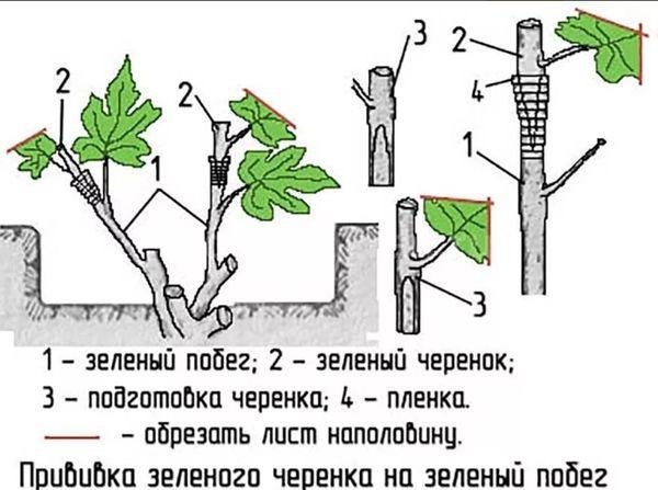 Особенности зеленого черенкования