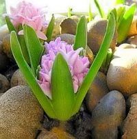 Зимняя выгонка луковичных цветов