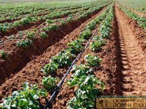 Пример выращивания картофеля по Митлайдеру